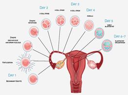 رشد فولیکول و تخمک گذاری